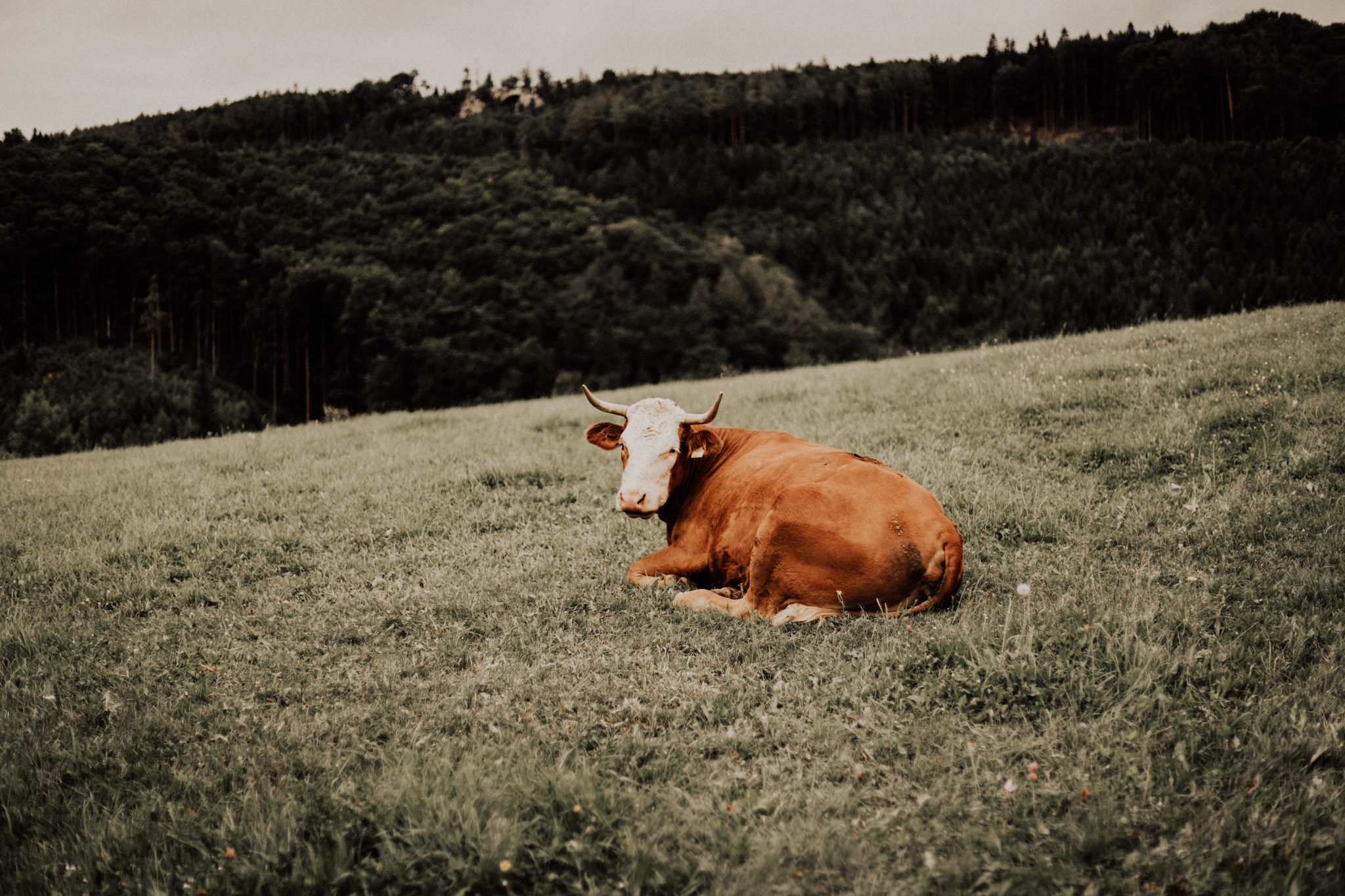 Image of a cow in the field in lower Austria